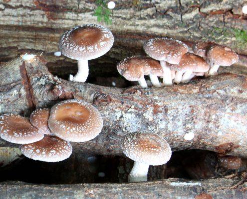 cogumelos-melgaço-gastronomia